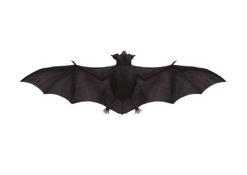 Vorlage Fledermaus (echt)